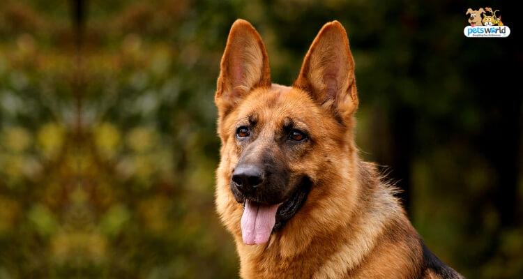 German Shepherd Top Dog Food Feeding Patterns To Know Jm Saddler